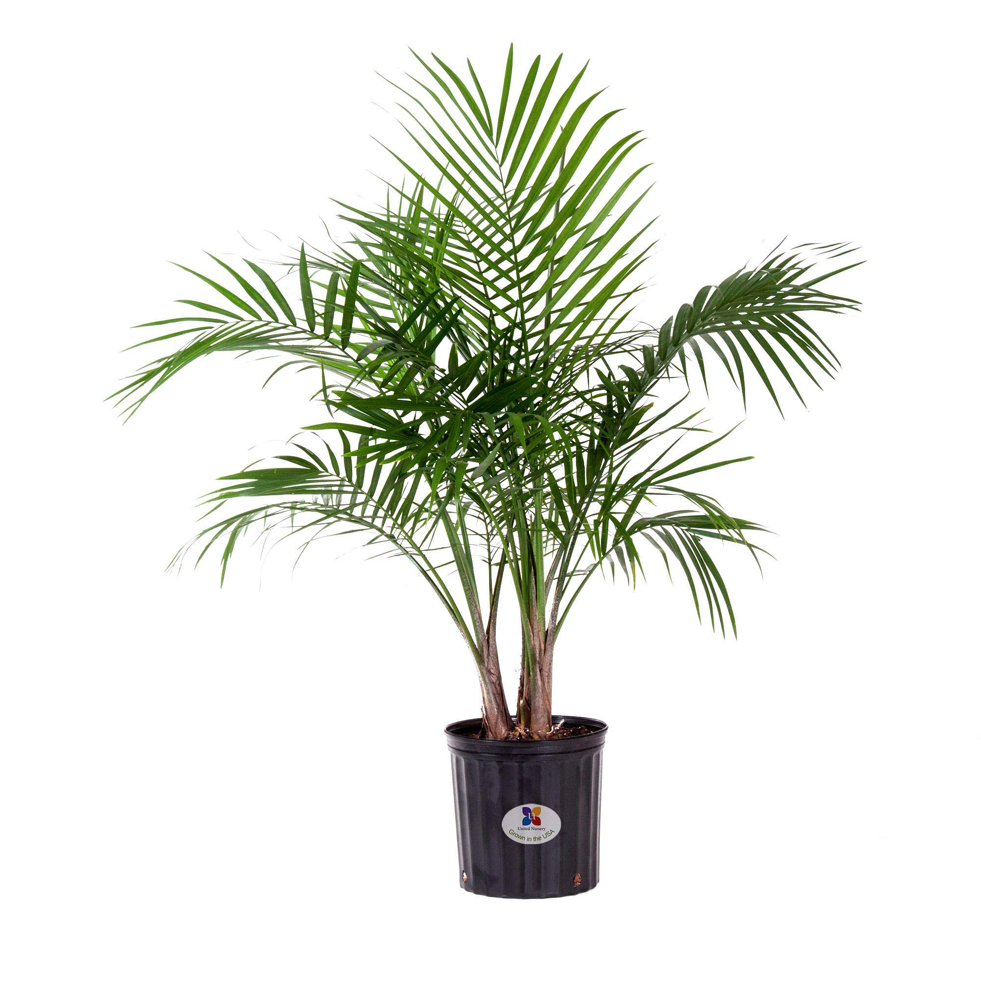 United Nursery Majesty Palm Tree, Live Indoor and Outdoor Plant. 36'' Shipping Size. Shipped Fresh in Grower Pot from Our Florida Farm