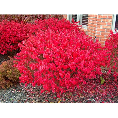 "Dwarf Burning Bush - Compact Heavy Established Roots 3 Plants in 2.5"" Pots : Garden & Outdoor"
