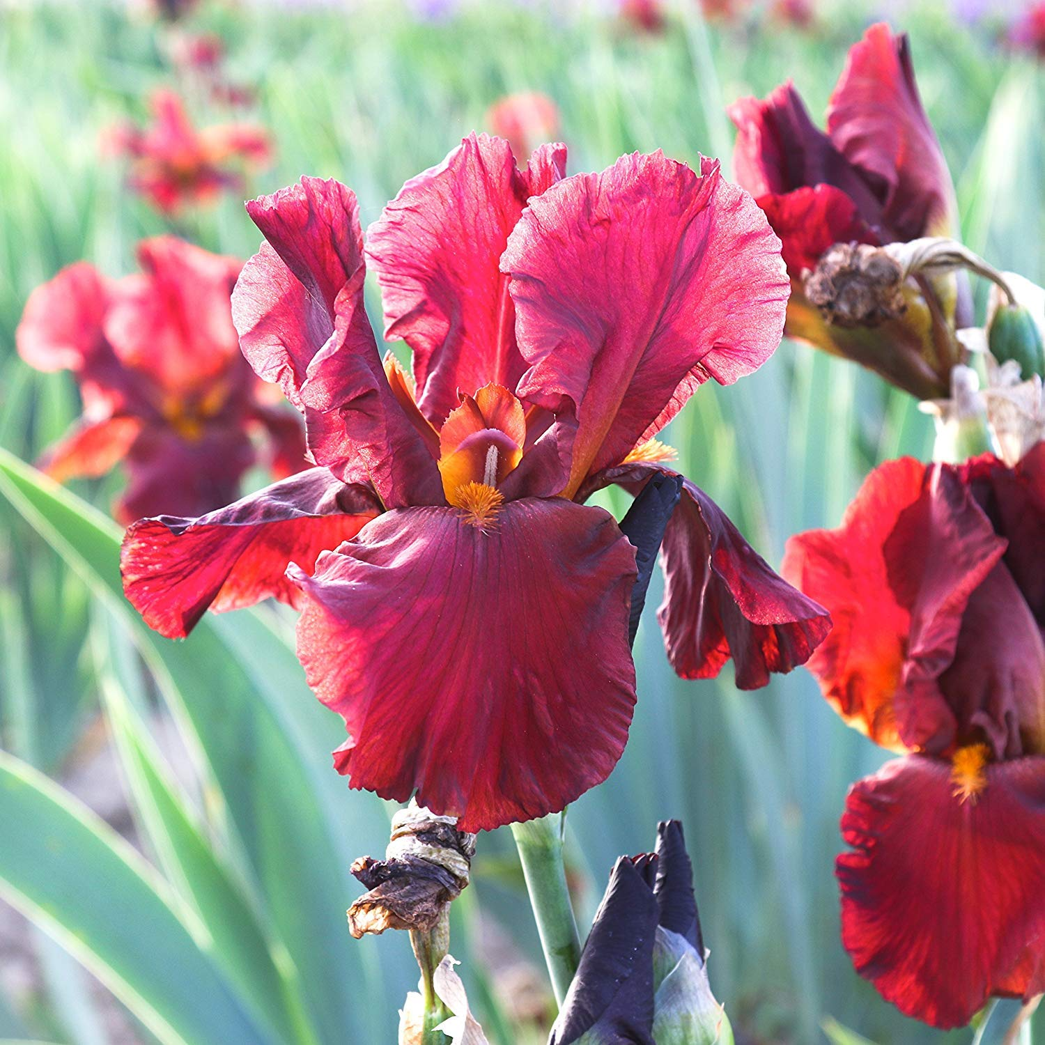 Amazon 23 Red Fancy Bearded Iris Bulbs Roots Rhizomes Plants