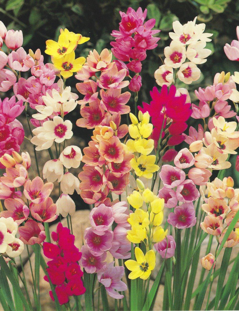 20 X Mixed Ixia Bulbs Amazon Garden Outdoors