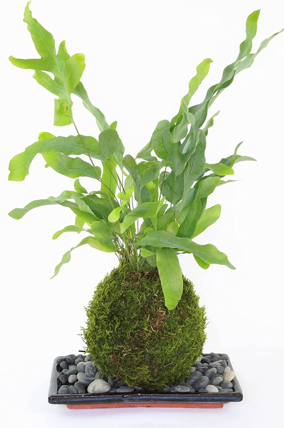 Blue Star Fern Phlebodium Kokedama with Live Green Moss and Blue Tray and Slate Tranquil Plants