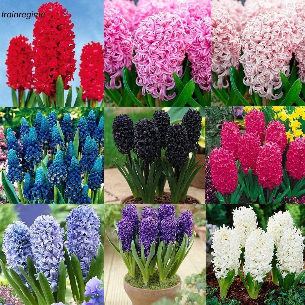 AGROBITS Rose 50P 100P color/é jacinthe fleurs Graines bulbes plantes semences jardin Tt7Y Sac 50