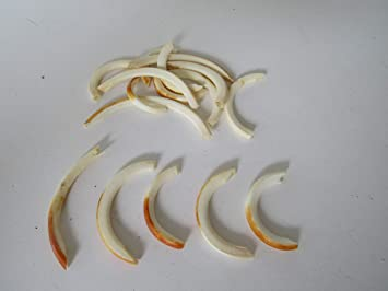 5 Muskrat Teeth Animal Bone Teeth Jewelry Beads Craft Supplies Projects Taxidermy