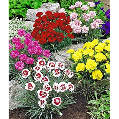 Earth Seeds Co 50 Pcs Dianthus Mix Evergreen Flower Seeds Hardy Perennial Ideal for Garden and beds : Garden & Outdoor