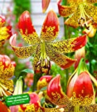 "BALDUR-Garten Lilie ""Fusion"" 3 Knollen Lilium"
