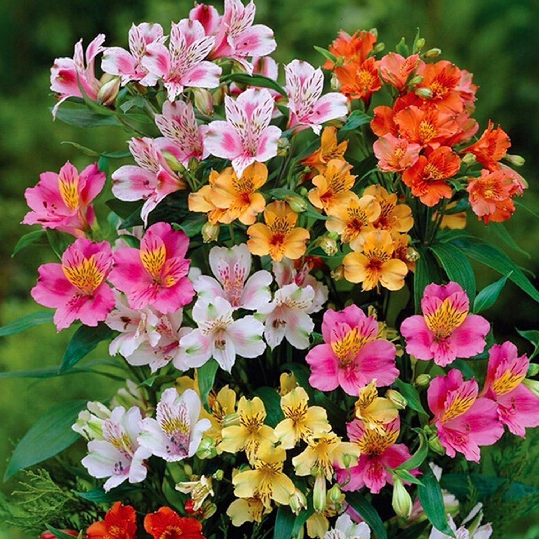 Amazon 20 peruvian lily mix alstroemeria dr salters flower amazon 20 peruvian lily mix alstroemeria dr salters flower bulb seeds sh comb garden outdoor izmirmasajfo