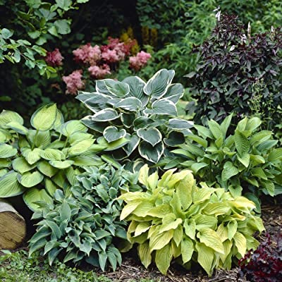 Hosta Mixed - 6 Perennial Bare Roots : Garden & Outdoor