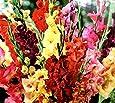 Jumbo (10 Pack) Pastel Mixed Gladiolus Bulbs, Perennializing Gladiolus Flower Bulbs