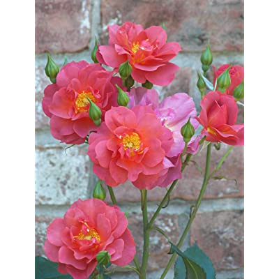 1 Live Plant Cinco de Mayo Rose 2 Gallon Shrub Plant Roses Outdoor Gardening tktreas : Garden & Outdoor