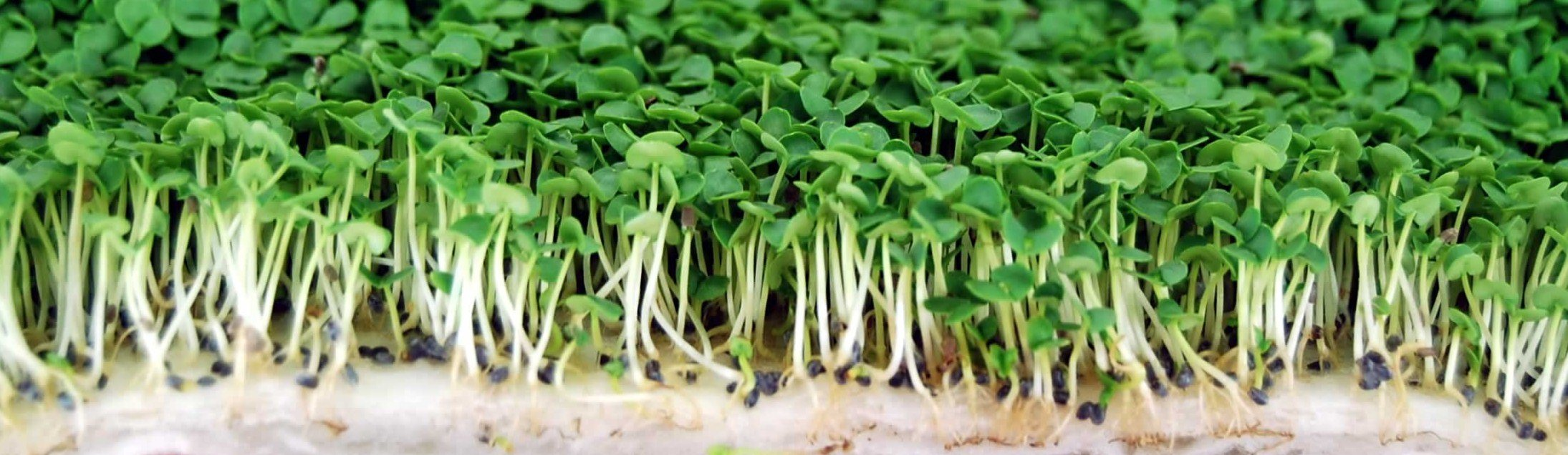 Genovese Basil Microgreens Seeds - Non-GMO Bulk Seed for Growing Micro Herbs, Indoor Gardening, Herb Garden, Micro Greens (5 Lb) by Mountain Valley Seed Company (Image #6)