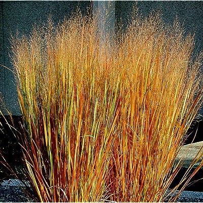 Toyensnow - Dacotah Switch Grass (1000 Seeds) : Garden & Outdoor