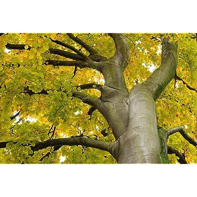 European Beech, Fagus sylvatica, 15 Tree Seeds (Edible, Showy, Fall Color) : Garden & Outdoor