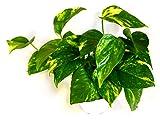 9GreenBox - Golden Devil's Ivy - Pothos