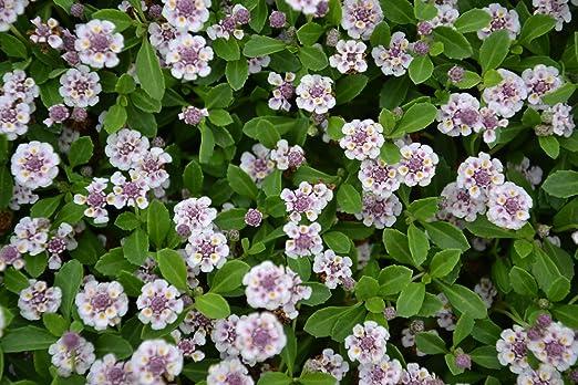 Lipia nodiflora (formato para practicos) oferta 10 bandejas: Amazon.es: Jardín