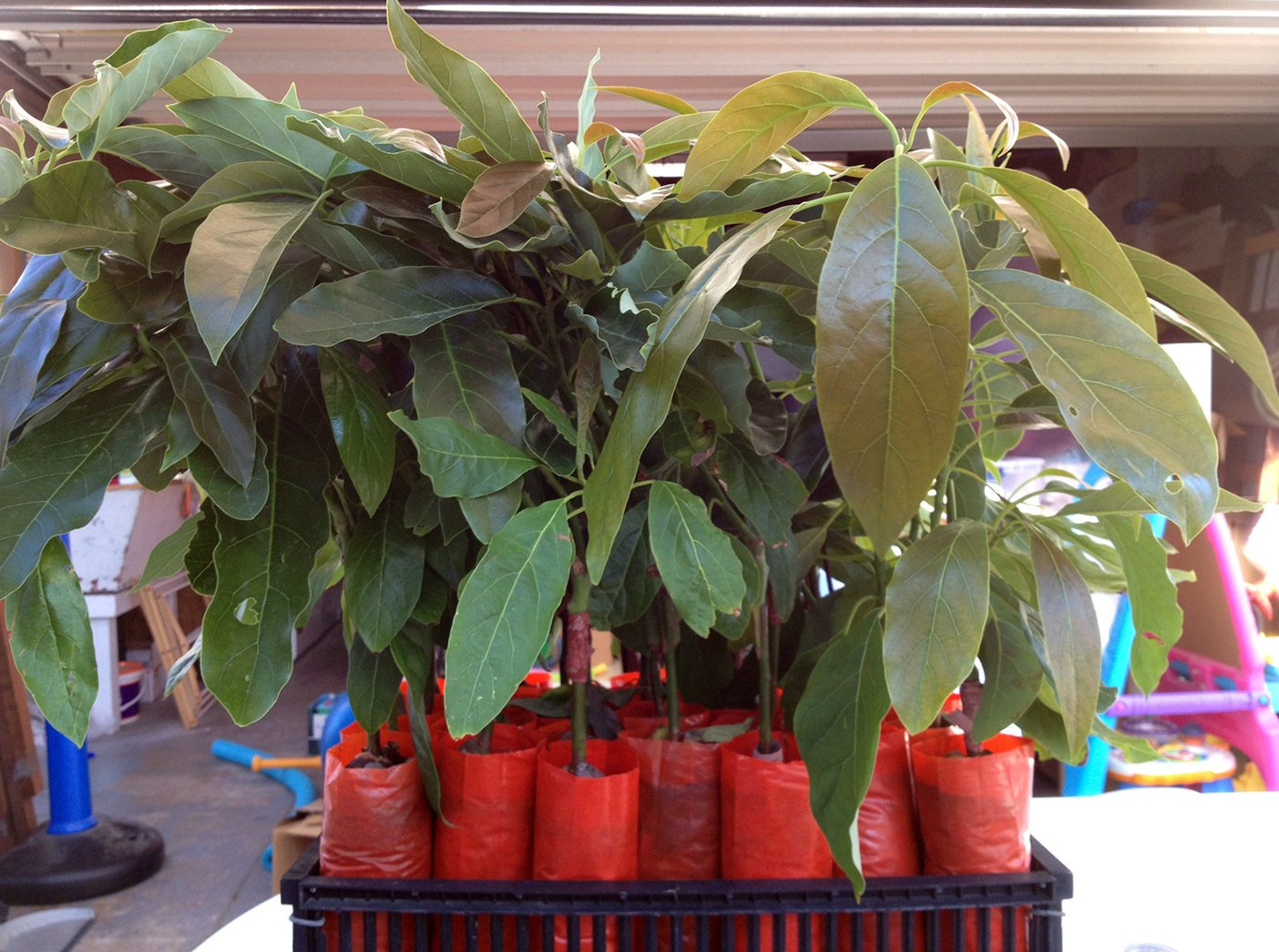Hass Avocado Tree, Grafted - Live Avocado Tree by Unknown (Image #1)