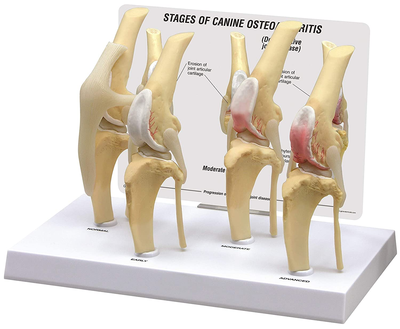 Caninedog 4 Stage Knee Arthritis Anatomy Model 9051 Knee Braces