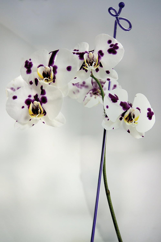 11.5x3x72 cm 60 cm Trasparente Sunflower FLOR78845 Tutori per Orchidee