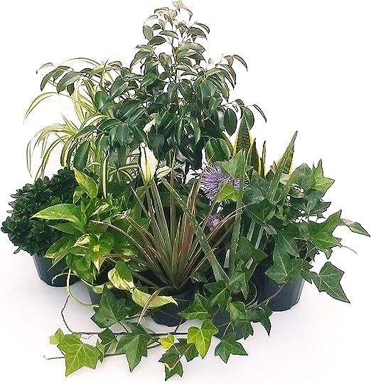Plantas purificadoras de aire Maxi Set 10 mejores variedades ...