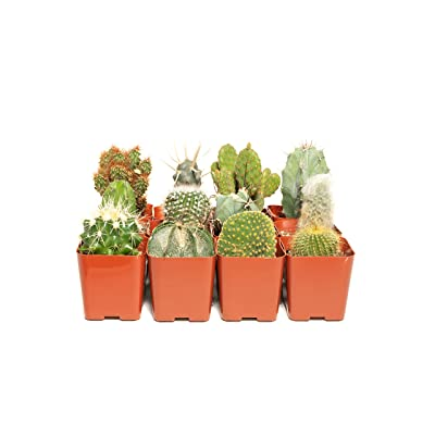 Cacti Assorted Pack (36) - Decorate Your Home/Garden with A Variety of Healthy Live Cactus by Jiimz : Succulent Plants : Garden & Outdoor