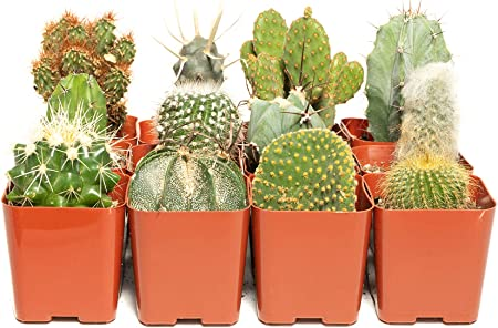 Amazon Com Cacti Assorted Pack 36 Decorate Your Home Garden