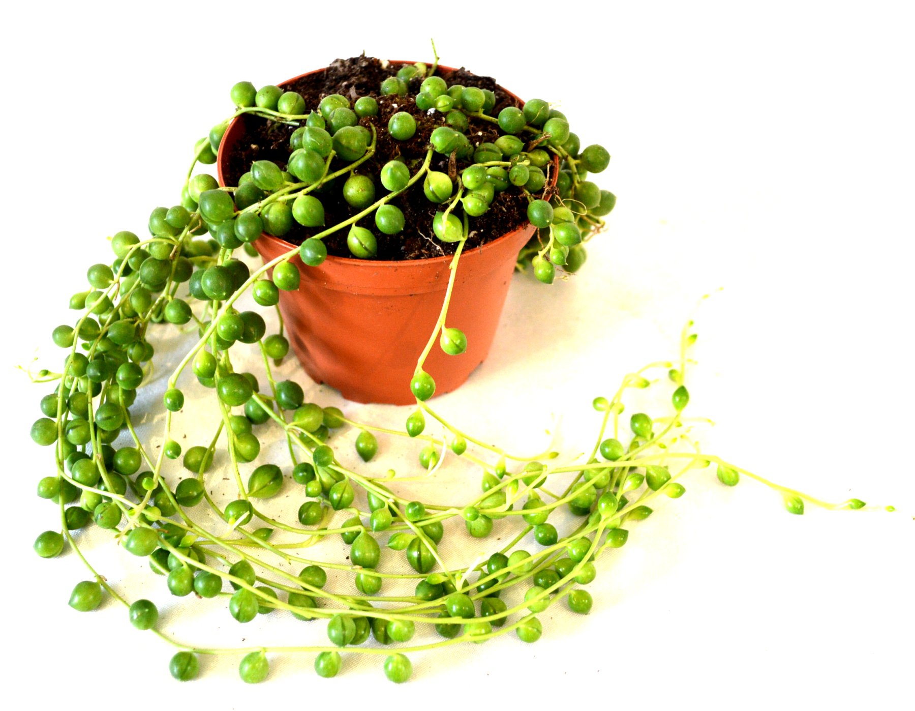 9Greenbox - String of Pearls, Senecio rowleyanus - 4'' Pot