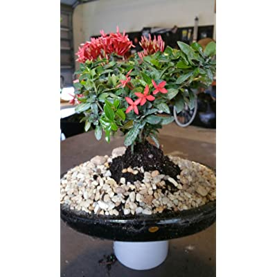Indoorbonsaiandexotics ixora small bonsai tree in 8 inch pot : Everything Else