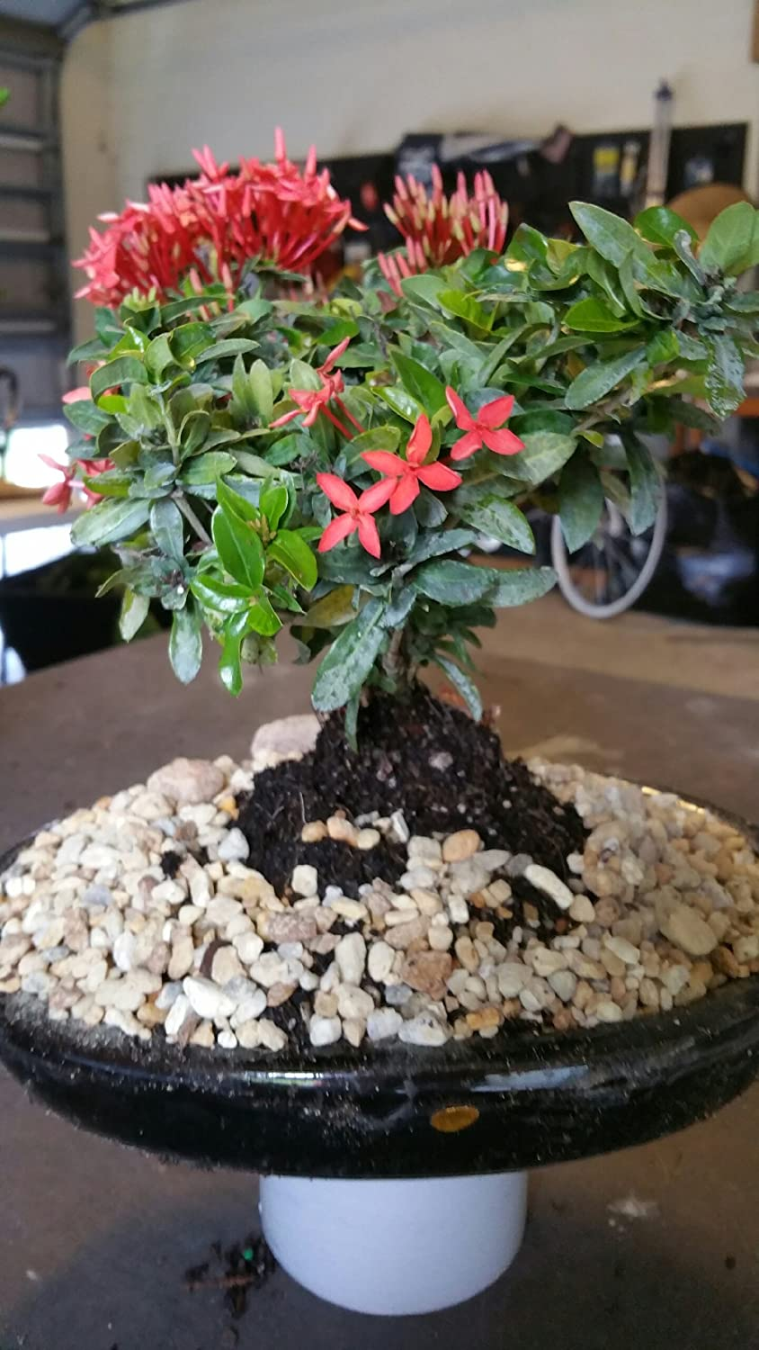 Amazon Com Indoorbonsaiandexotics Ixora Small Bonsai Tree In 8 Inch Pot Garden Outdoor