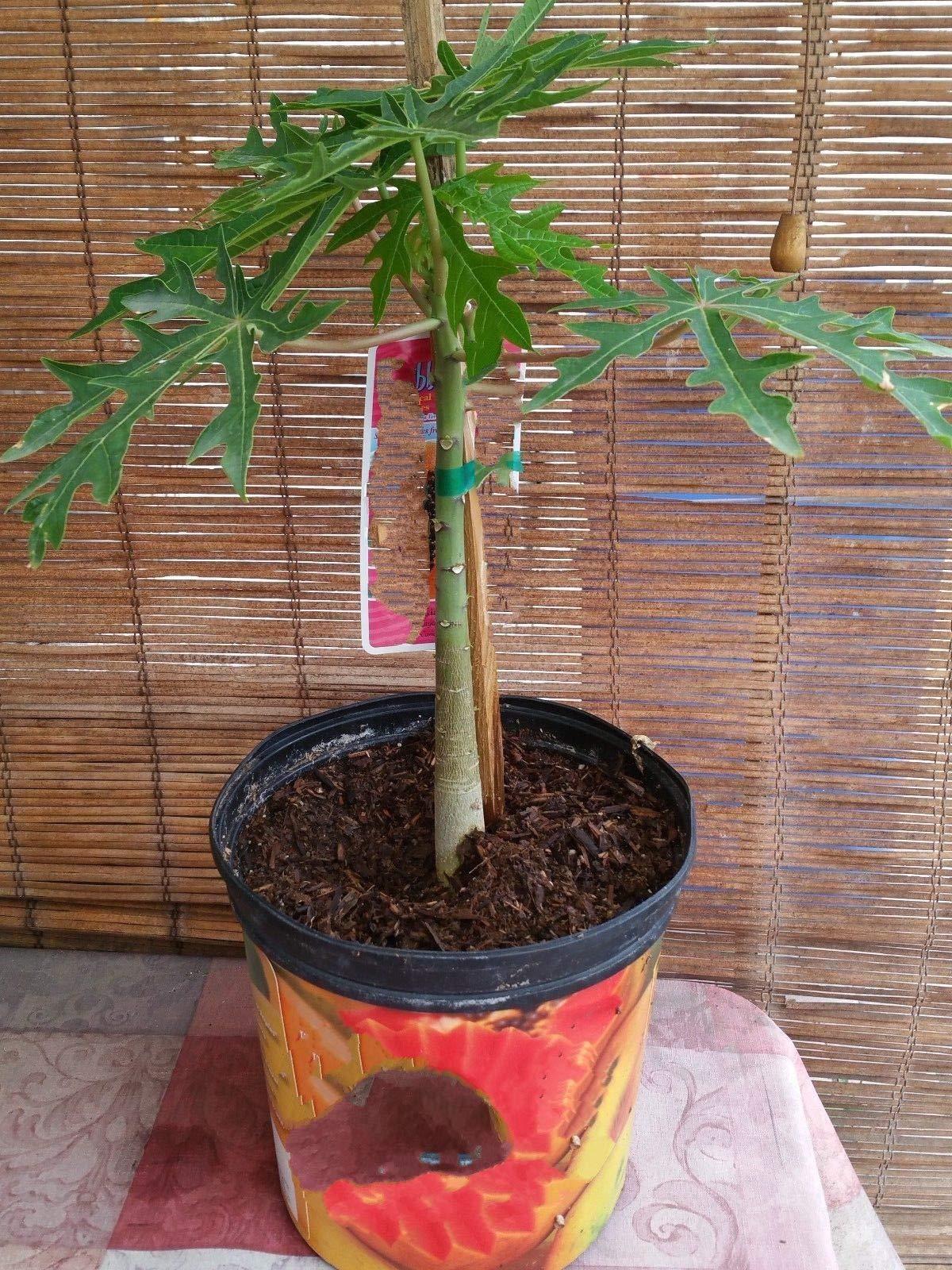 1 Papaya Solo Hawaiian Tropical Fruit Tree Sweet Beauty Live Plant