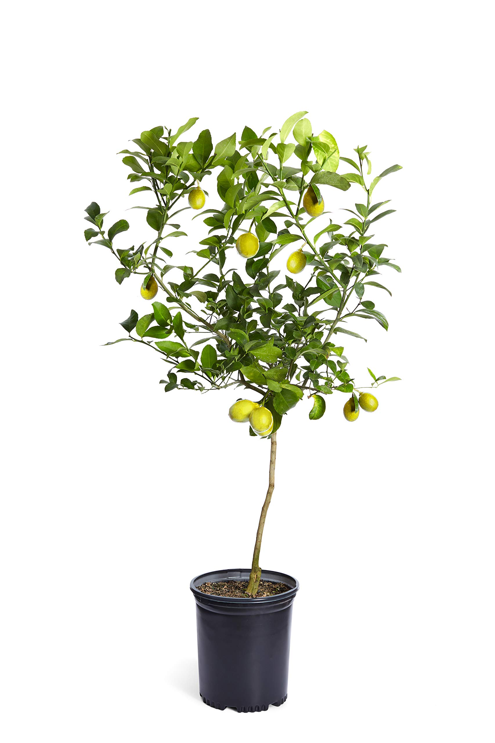 Improved Meyer Lemon Tree- Dwarf Fruit Trees - Indoor/Outdoor Live Potted Citrus Tree - 3-4 ft. - Cannot Ship to FL, CA, TX, LA or AZ