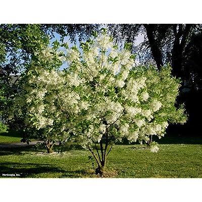White Fringe Tree, Chionanthus virginicus, 1 Quart Potted, Landscaping, Grancy Graybeard, Deciduous, White Fringe Like Blooms, Unique : Garden & Outdoor