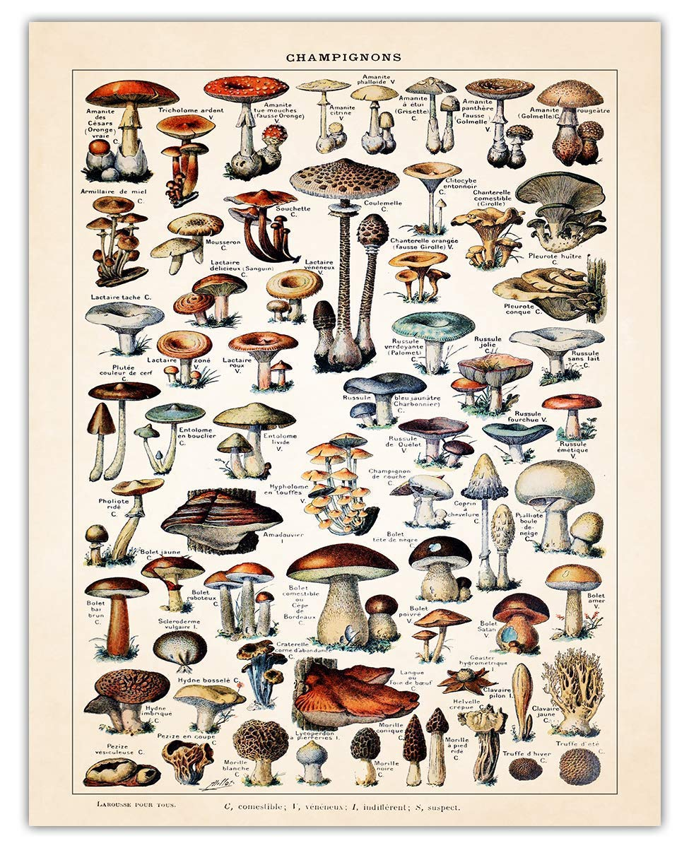 Vintage Mushroom Poster Print - (11x14) Unframed Photo For Home, Office, Dorm & Bedroom Decor - Great Gift Idea Under $15 for Botanical Prints Wall Art Enthusiasts