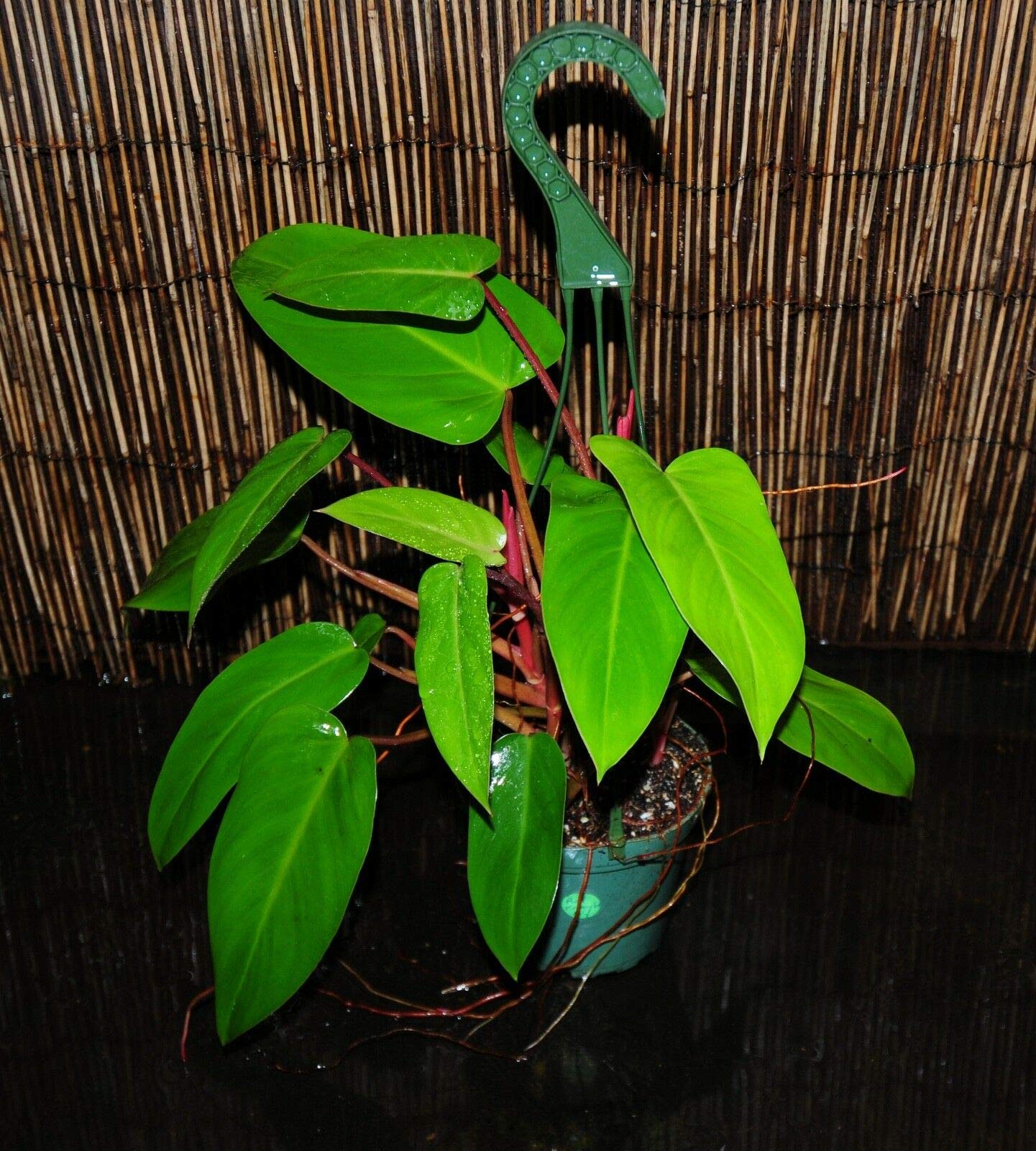 Rare Philodendron 'RED Emerald' 5.5'' Hanging Baskets Large Full Mature Plants! (Premium Quality) by AY-Premium