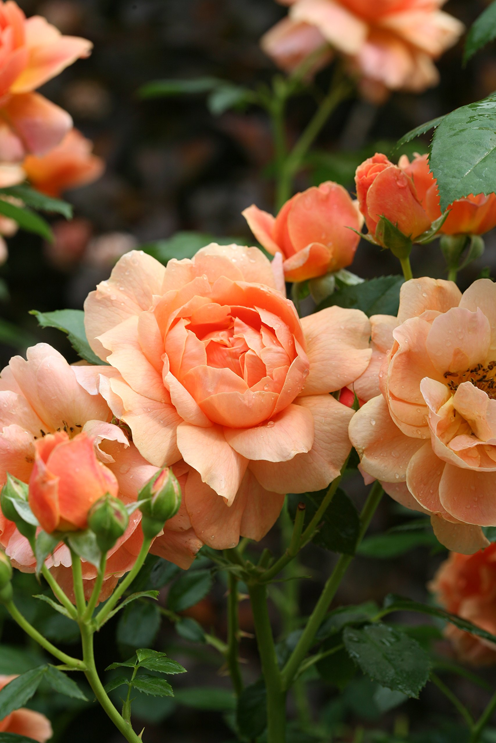 At Last Rose (Rosa) Live Shrub, Orange Flowers, 4.5 in. Quart by Proven Winners (Image #5)