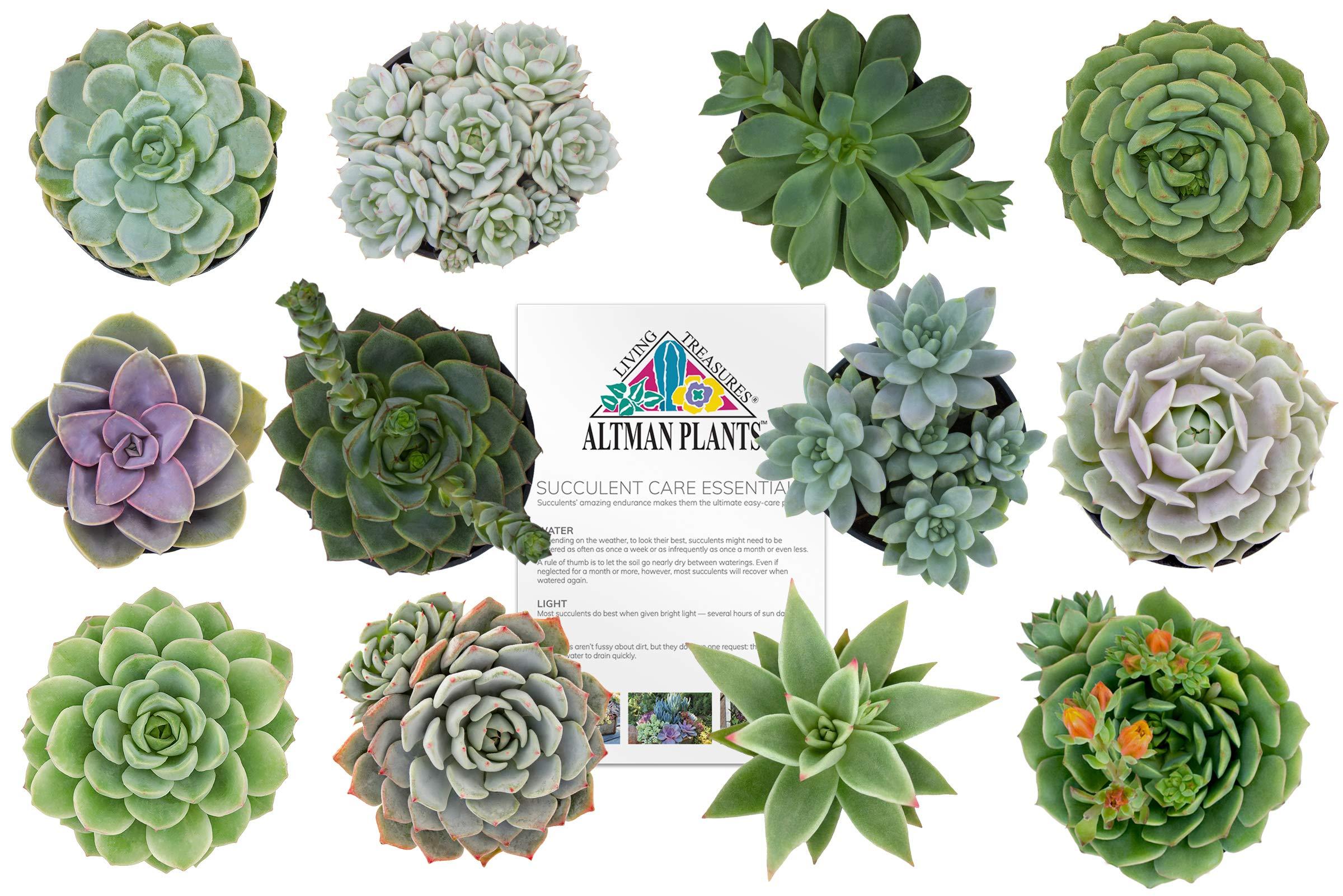 Altman Plants Assorted Live Succulents Flowering Rosette Collection Echeveria, sedeveria, perfect for party favors and arrangements, 2.5'', 12 Pack