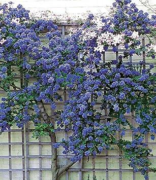 Geliebte BALDUR-Garten Immergrüne Säckelblume Ceanothus 'Trewithen Blue #WH_72