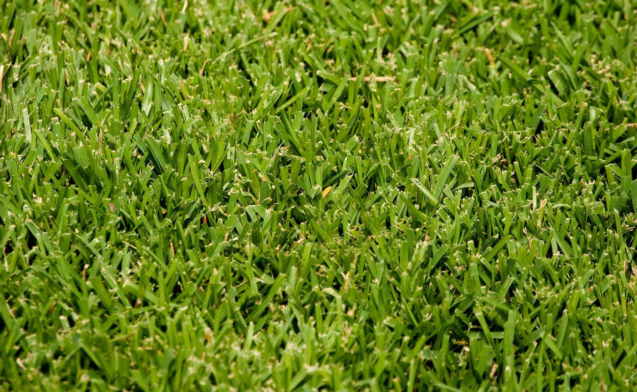 St. Augustine 'Palmetto' 3 Inch Sod Plugs - 18 Plugs - Drought, Salt, Shade, Cold, Heat & Frost Tolerant Turf Grass by Florida Foliage (Image #3)