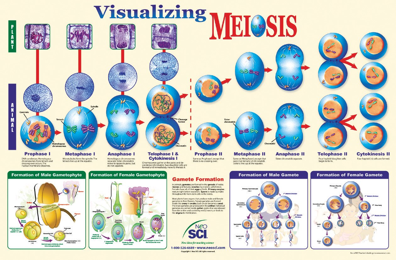 Neo Sci Visualizing Meiosis Laminated Poster, 35' Width x 23' Height 35 Width x 23 Height School Specialty