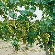 Dominik Blumen und Pflanzen Weinrebe, Vitis vinifera Lakemont, kernlos, weiß, 1 Pflanze, 30-50 cm hoch, 1 Liter Container, plus 1 Paar Handschuhe gratis