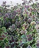 【特選ガーデン苗セット販売】四つ葉のクローバー 12ポットセット(3号) 【まとめ売り】