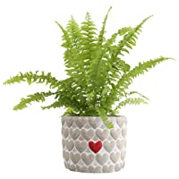 Costa Farms Love Fern in Heart Stone Decor Planter Live Plant
