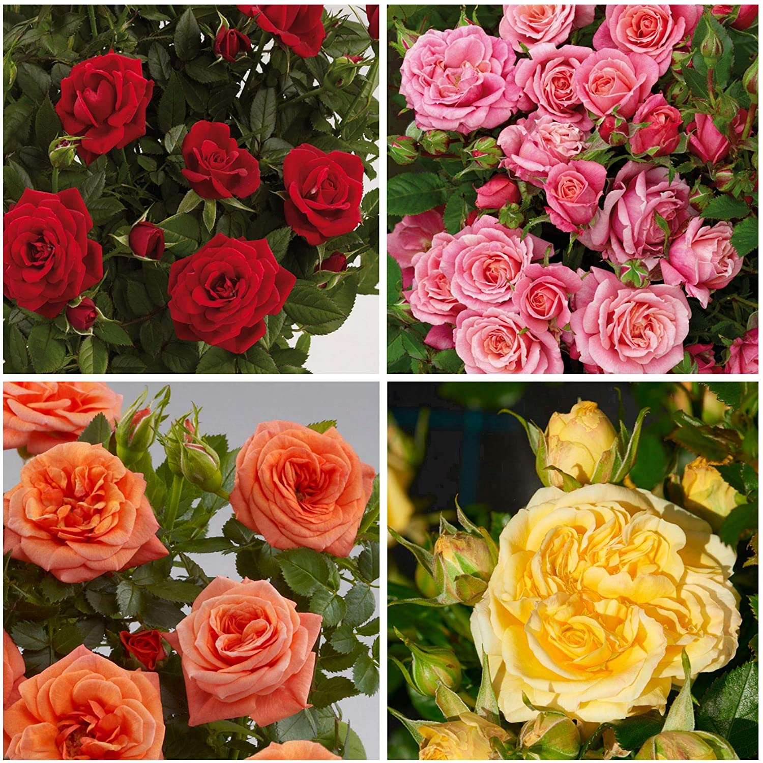 8X Dwarf Rose Garden Shrub Variety Collection for Patio Containers Planters /& Borders