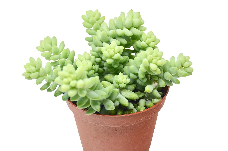 Amazon Com White Stone Crop Succulent 4 Pot Live Home And
