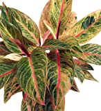 """Tropical Passion Chinese Evergreen Plant -Aglaonema- Grows in Dim Light - 6"""" Pot"""