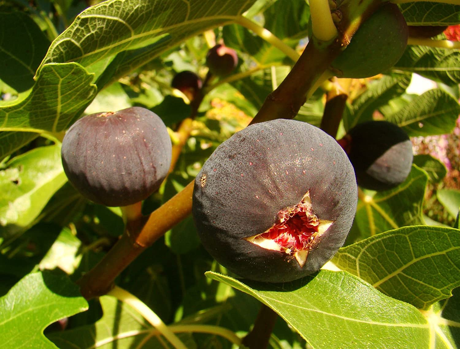 self pollinating Fig Plant FICUS CARICA 'Babits' red-brown fruited variety, very cold tolerant, architectural plant and tasty fruit GROW YOUR OWN FIG MEDITERRANEAN FRUIT STARTER PLANT - 15-20cm tall Tree Online Nursery