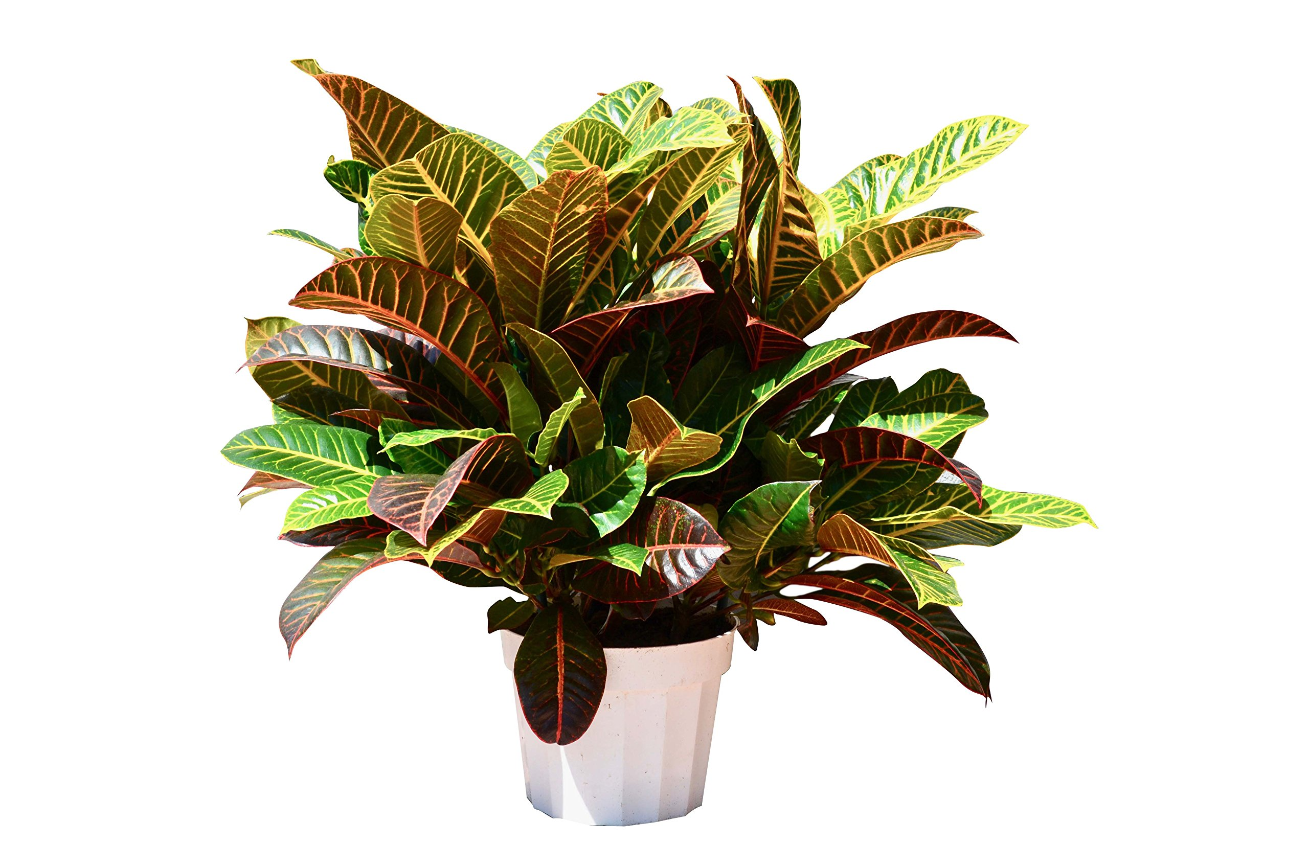 Croton Petra in 8'' Pot/2 FT Tall/FREE Care Guide/House Plant by House Plant Shop