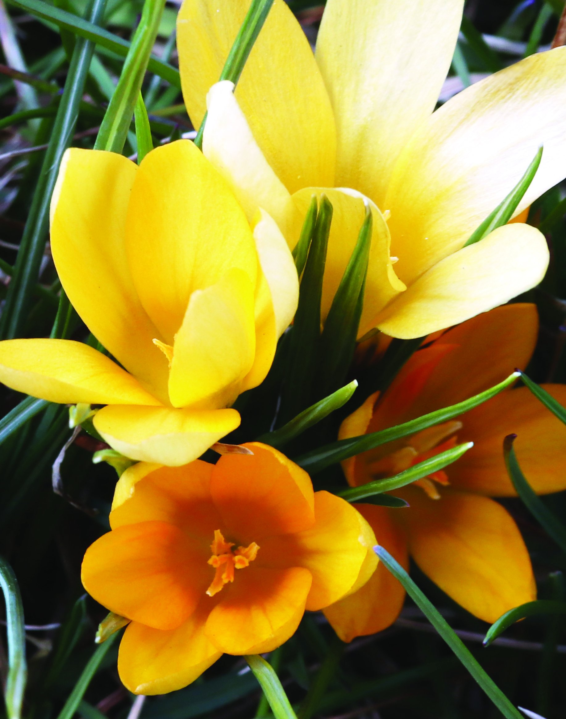 Burpee's Yellow Mammoth Crocus - 15 Large Flower Bulbs| Yellow | 9 - 11cm Bulb Diameter