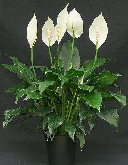 """Résultat de recherche d'images pour """"Spathiphyllum"""""""