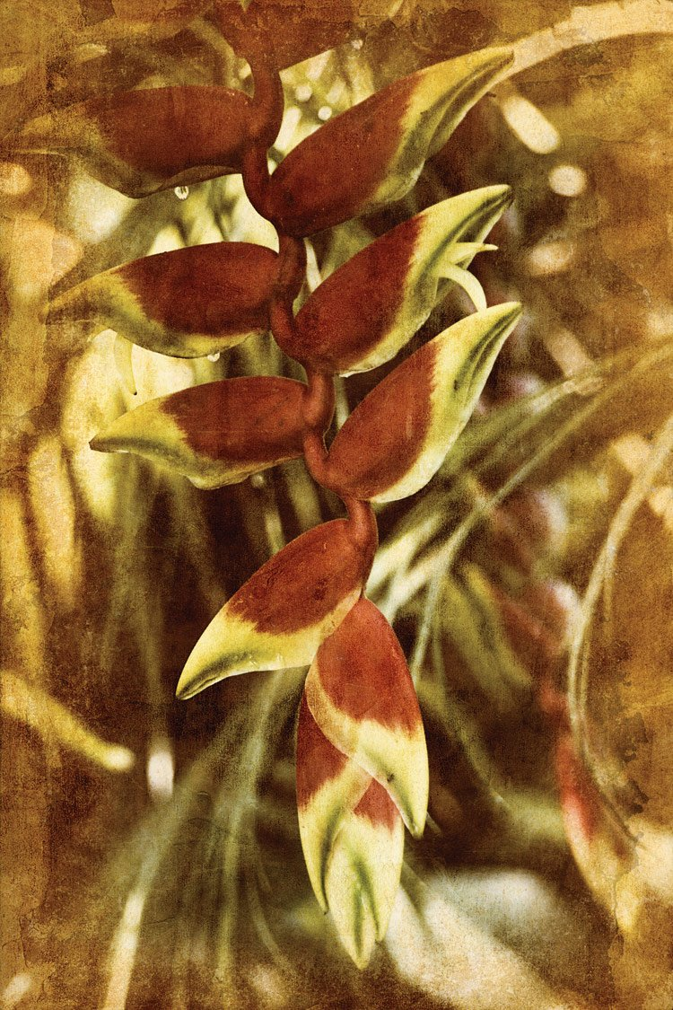 Heliconia , 36x24in. (paper)