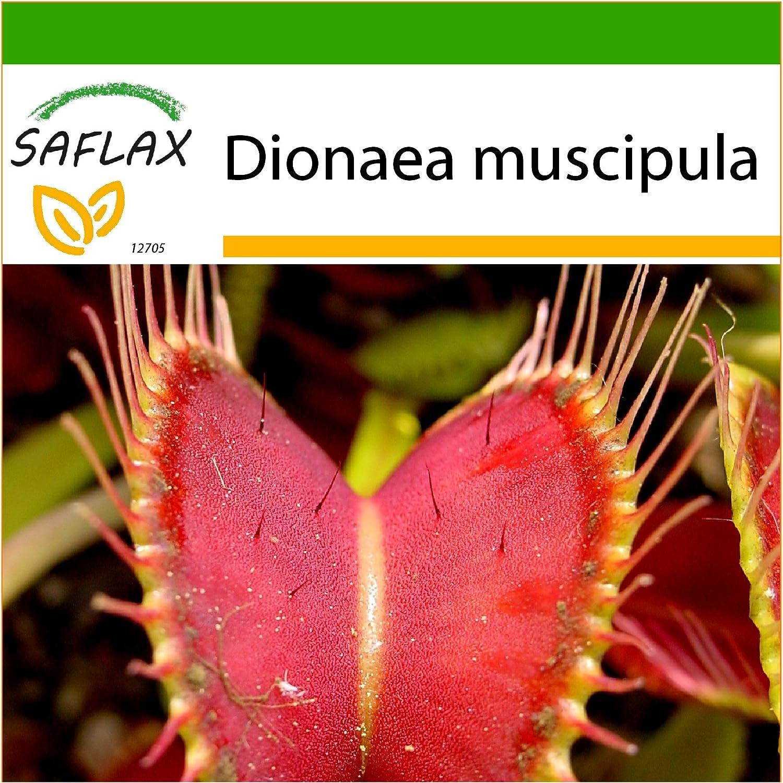 10 semillas Dionaea muscipula Venus atrapamoscas SAFLAX Con sustrato