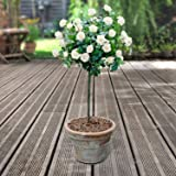 YouGarden Patio Standard Roses Bare Root, White (Pair)